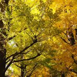 the ginkgo trees