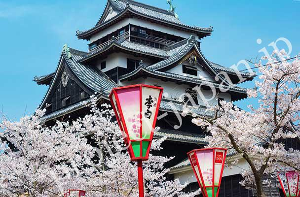 Matsue castle and cherry blossoms in spring